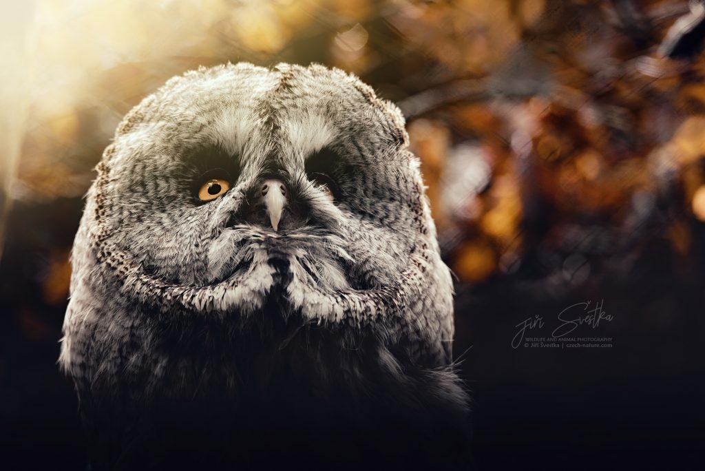 Jak je možné, že sovy dokážou otočit hlavu o 360 stupňů?