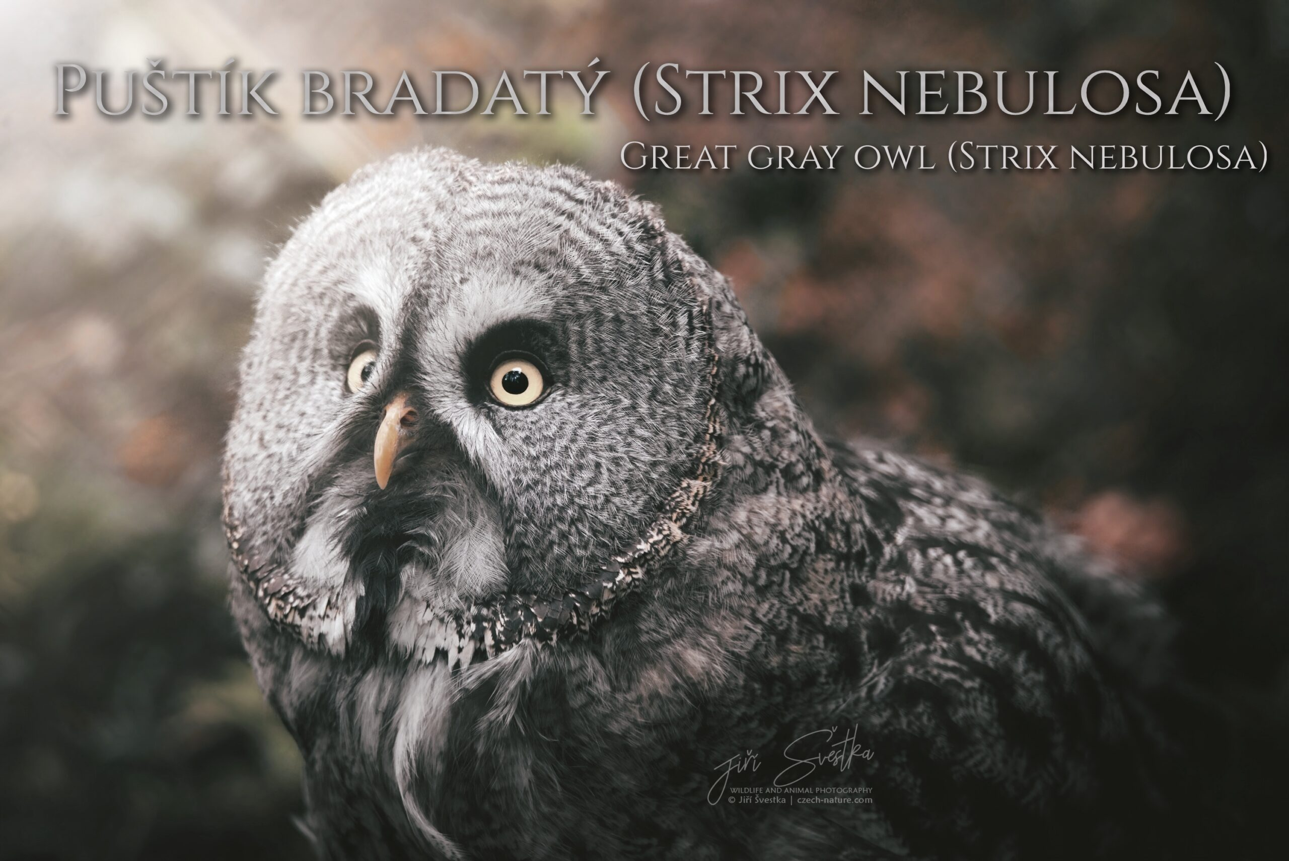 Puštík bradatý (Strix nebulosa)