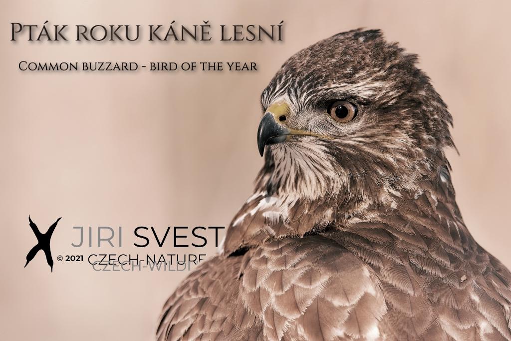 Káně lesní – pták roku 2021
